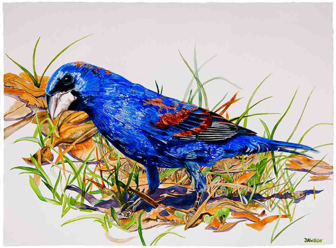 Prowling Blue Grosbeak