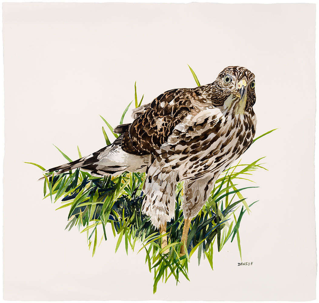 Young Cooper's Hawk in Grass