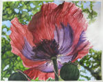 <b>X-Ray Poppy I by Carol Dawson</b>, 2012<br>Watercolor on paper, 22x30 inches, 26x24 inches framed<br><i>sold</i>