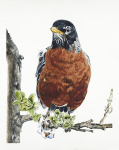 <b>American Robin</b>, 2016<br>Watercolor on paper, 40x33 image unframed<br>$3650