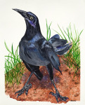 <b>Grackle I</b>, 2016<br>Watercolor on paper, 40x33 unframed<br>$3650