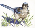 <b>Scrub Jay</b>, 2016<br>Watercolor on paper, 32x40 inches<br>$4000