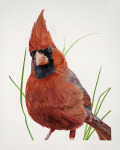Munch the Male Cardinal
